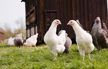 H5N2 identified in Iowa poultry flocks